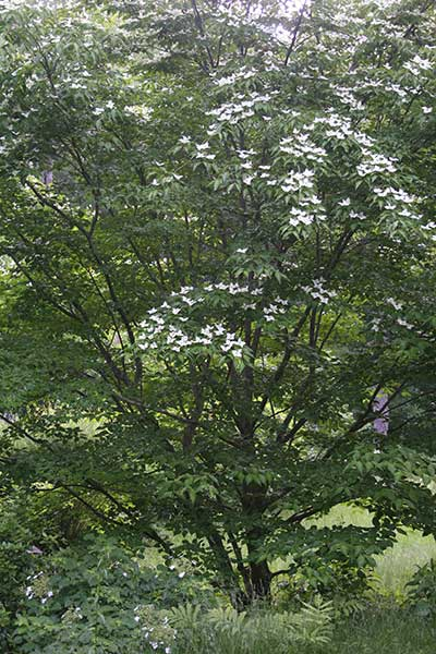 This companion dogwood planted at the same time and standing 30 feet away and has not been size-maintained.  There would be no view of the front of the house when you emerge out of the forest and the house comes into view.